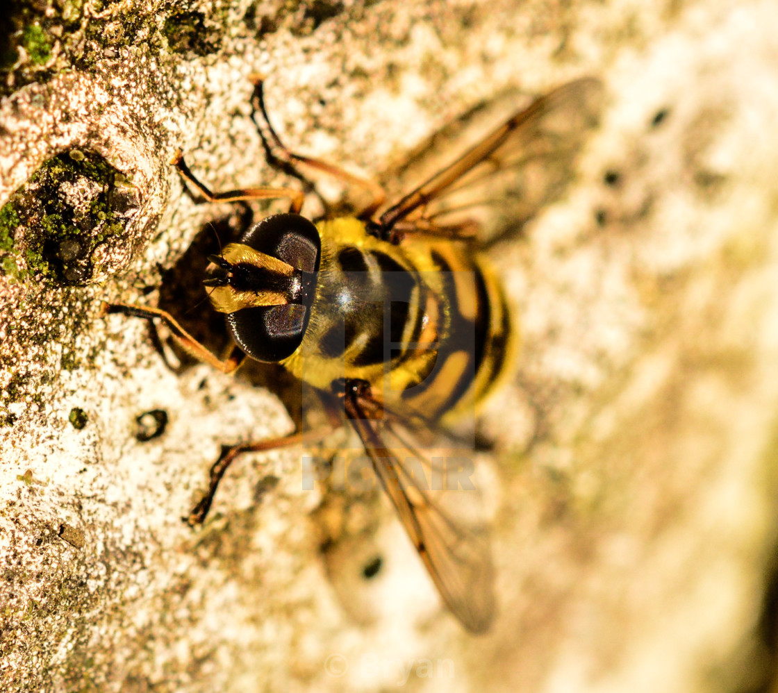 """""""Marmalade Hover Fly"""" stock image"""