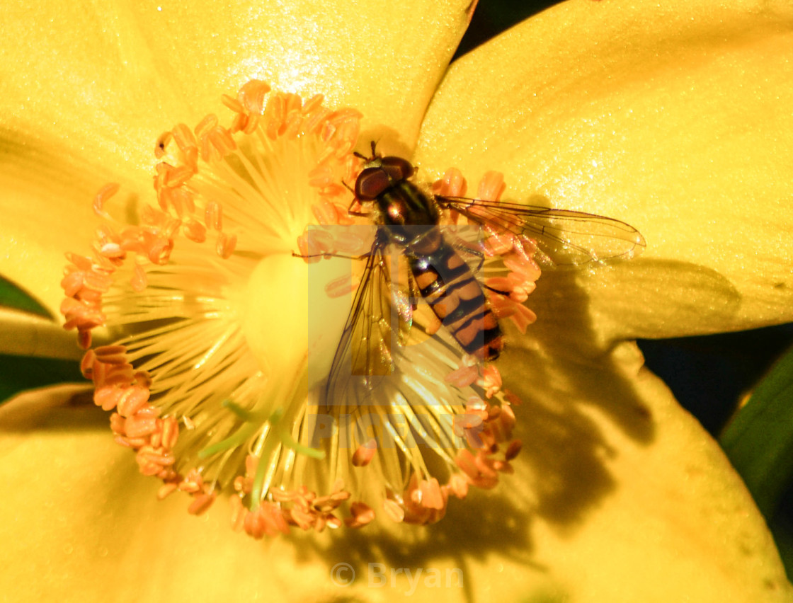 """""""Yellow Flower with Hoverfly"""" stock image"""