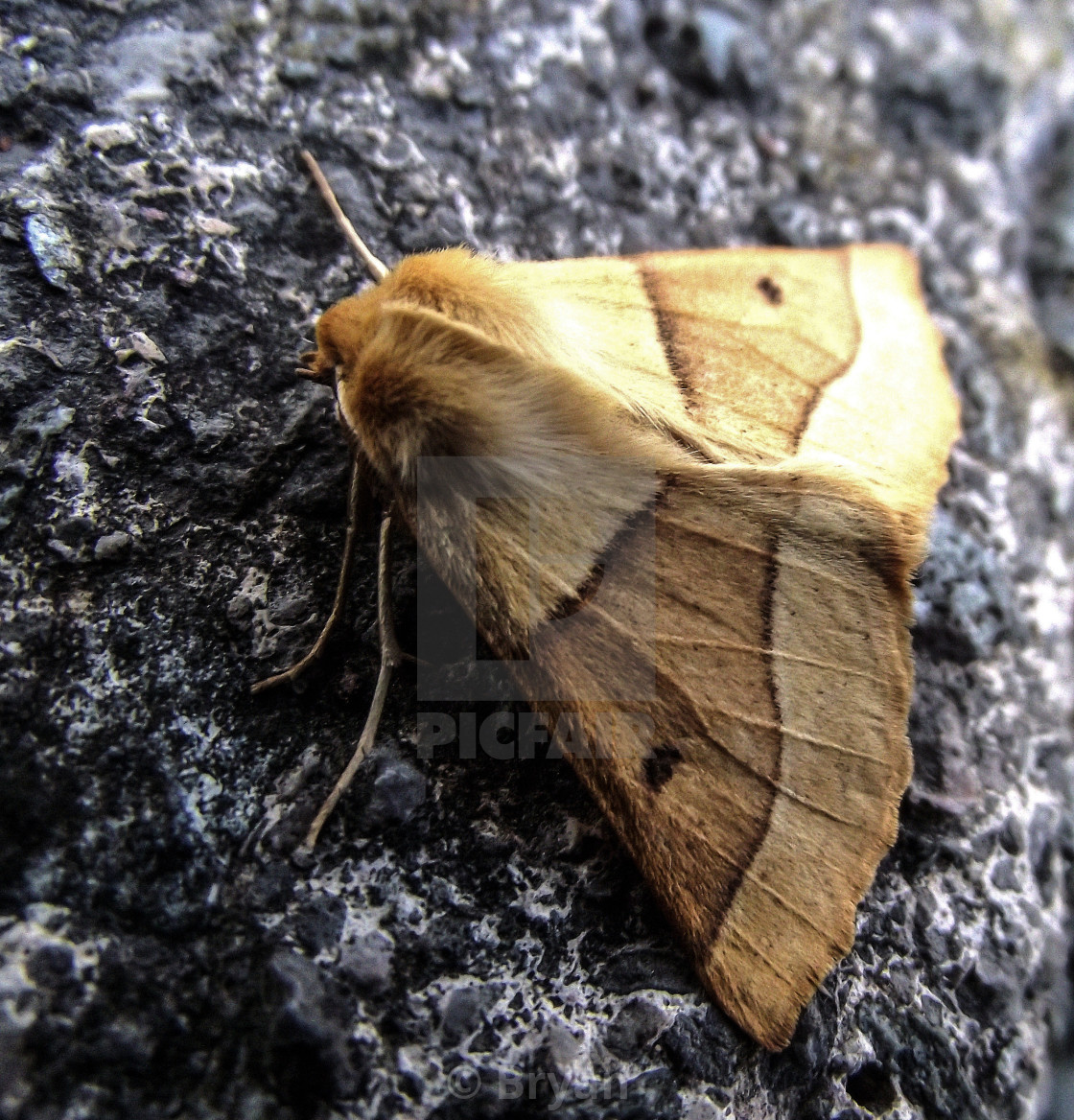 """""""Feathered Thorn Moth"""" stock image"""