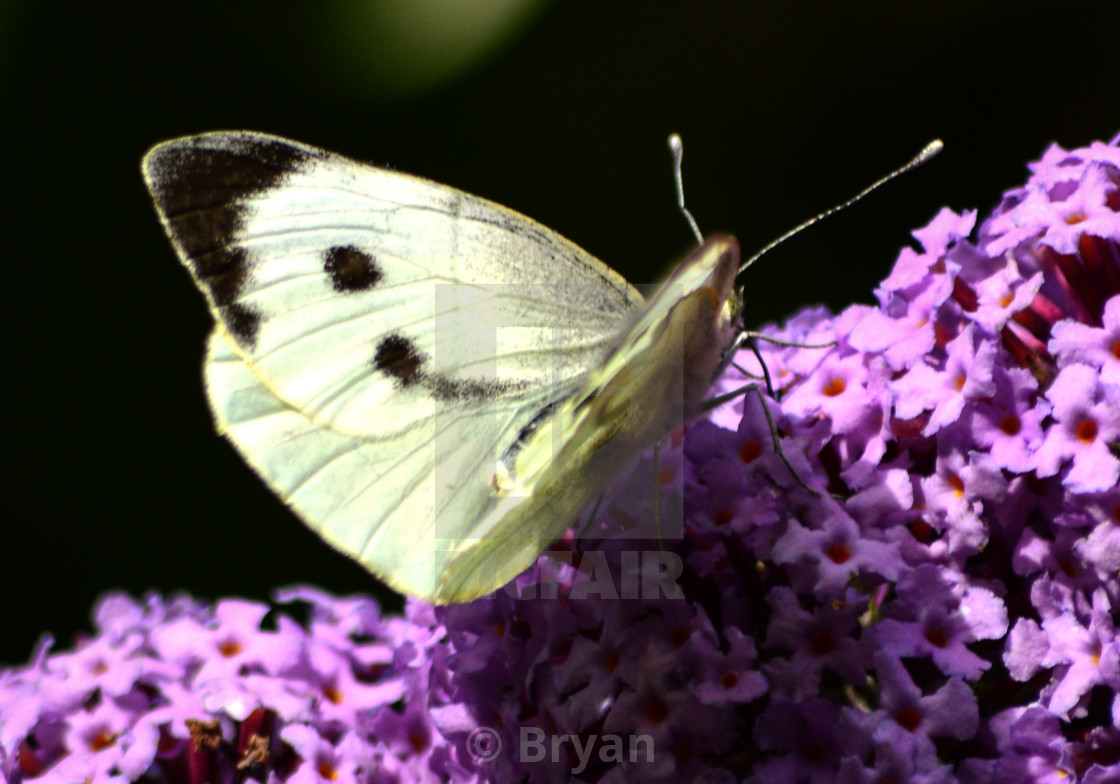 """""""Butterfly Small White - Pieris Rapae"""" stock image"""