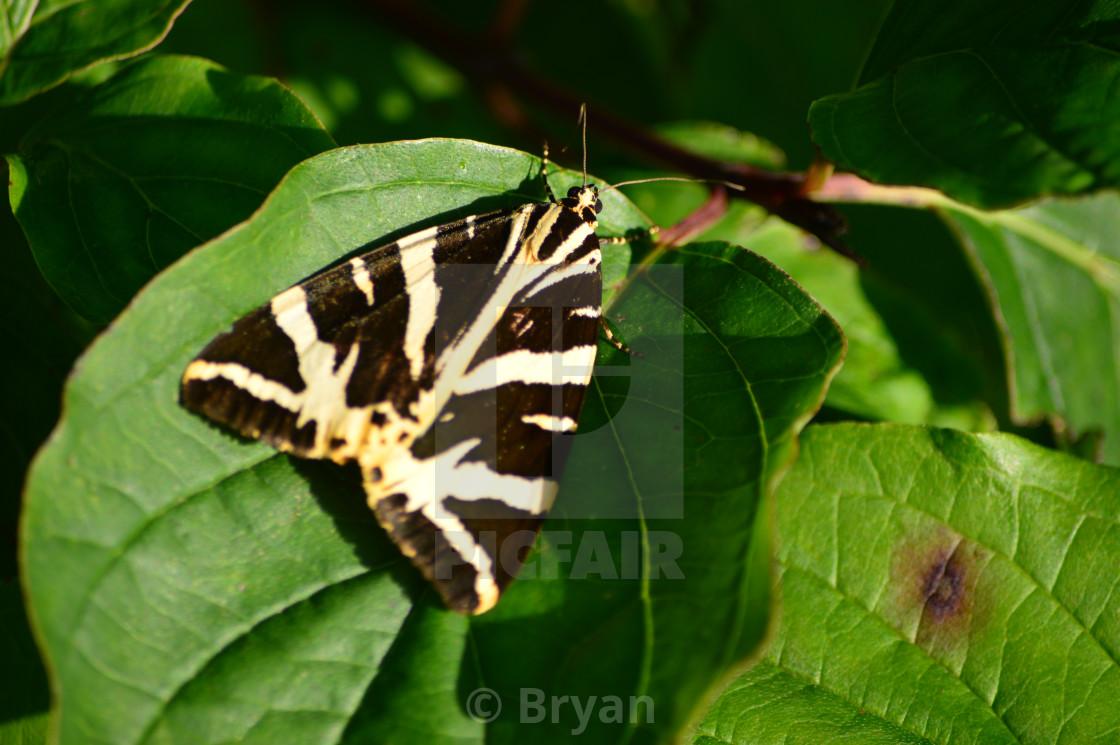 """Jersey Tiger Moth"" stock image"