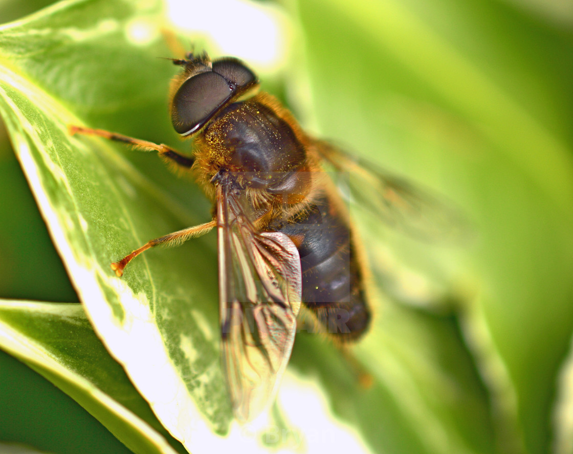 """Tapered Drone Fly, Eristalis"" stock image"