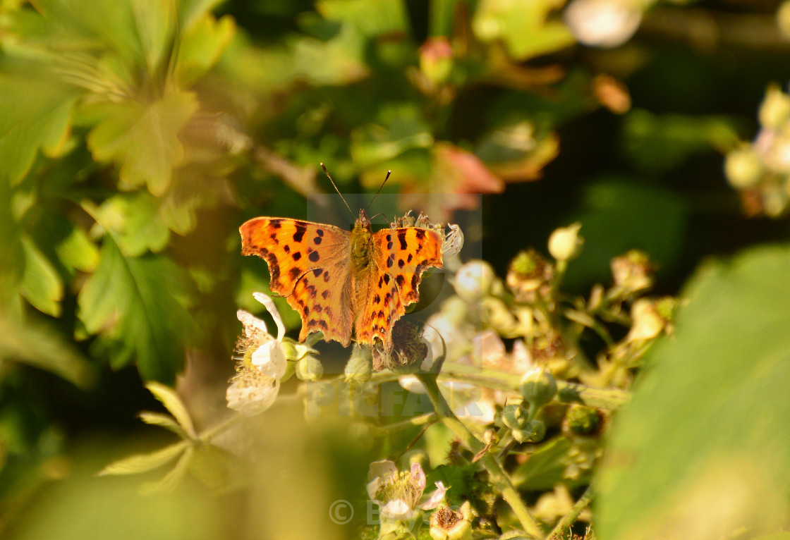 """Comma Butterfly from above"" stock image"