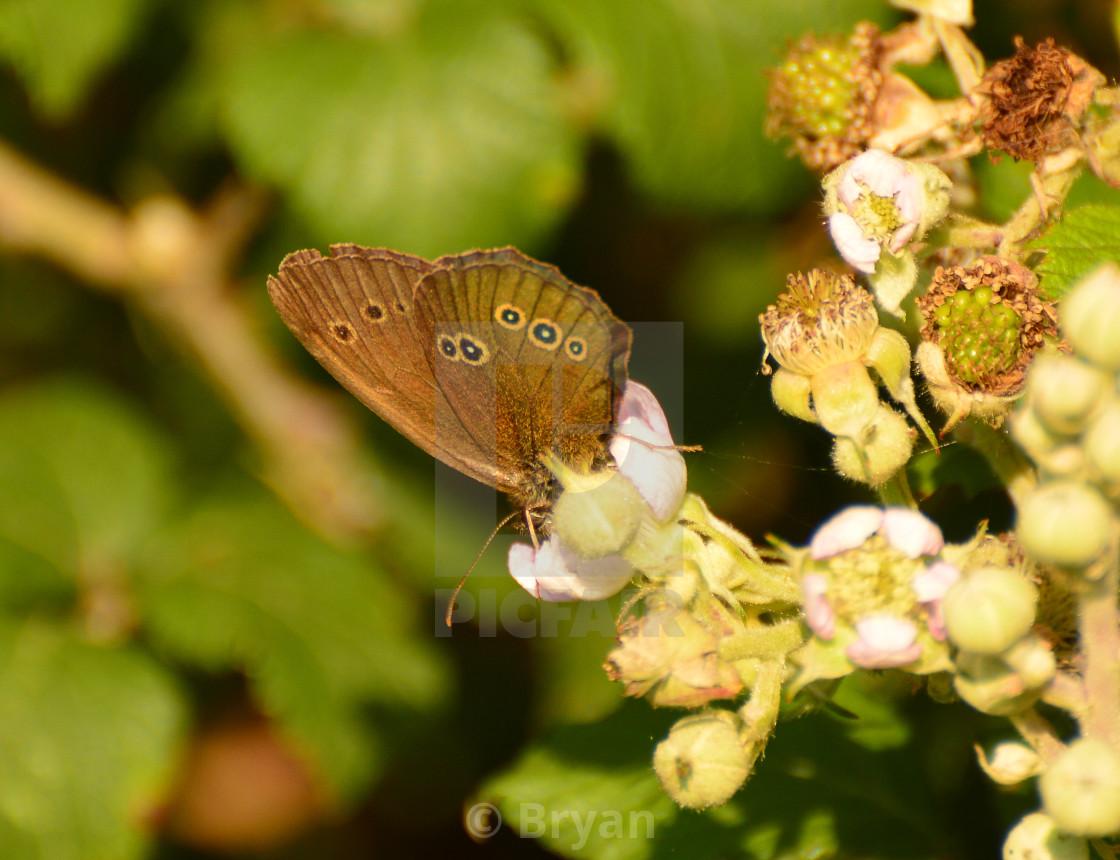 """Ringlet Underwing, Aphantopus hyperantus"" stock image"