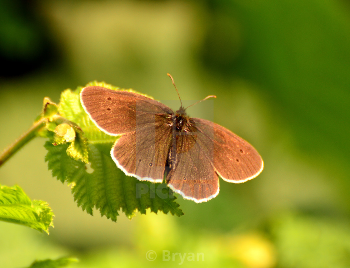 """Ringlet Butterfly"" stock image"