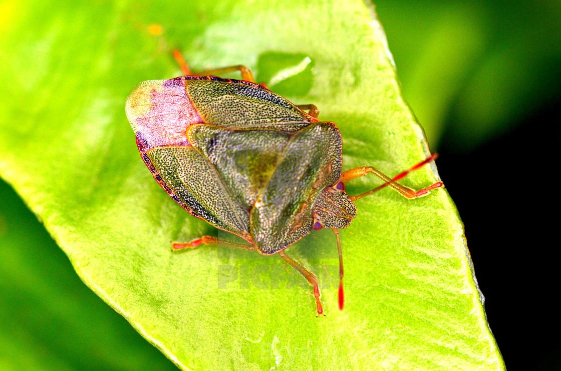 """Green Shield Bug Palomena Prasina"" stock image"