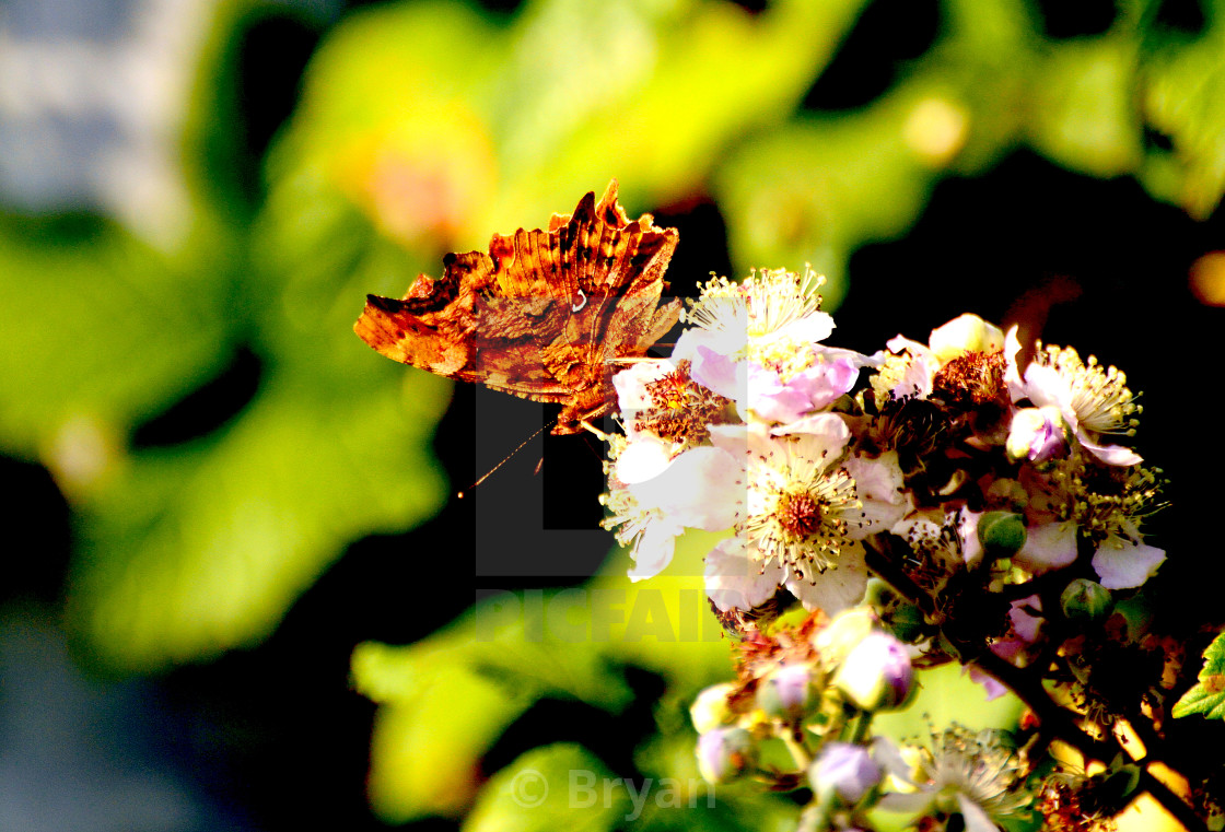 """""""Comma Butterfly, Underwing"""" stock image"""