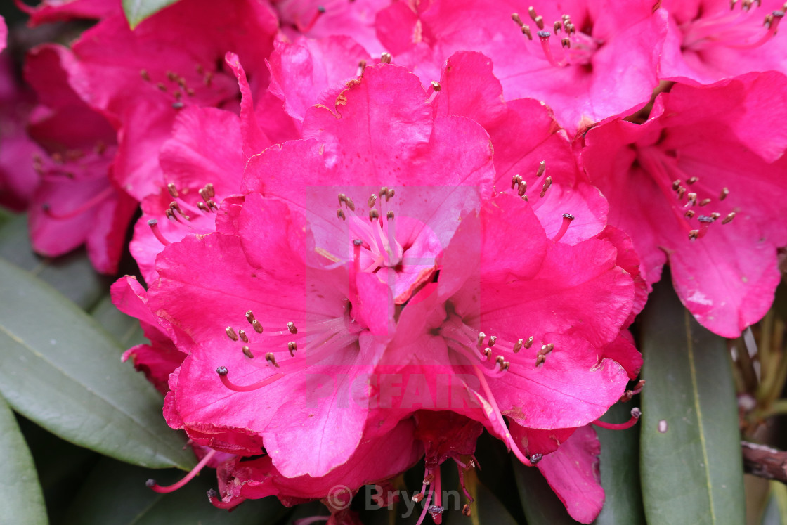 """Rhododendron Flowers"" stock image"