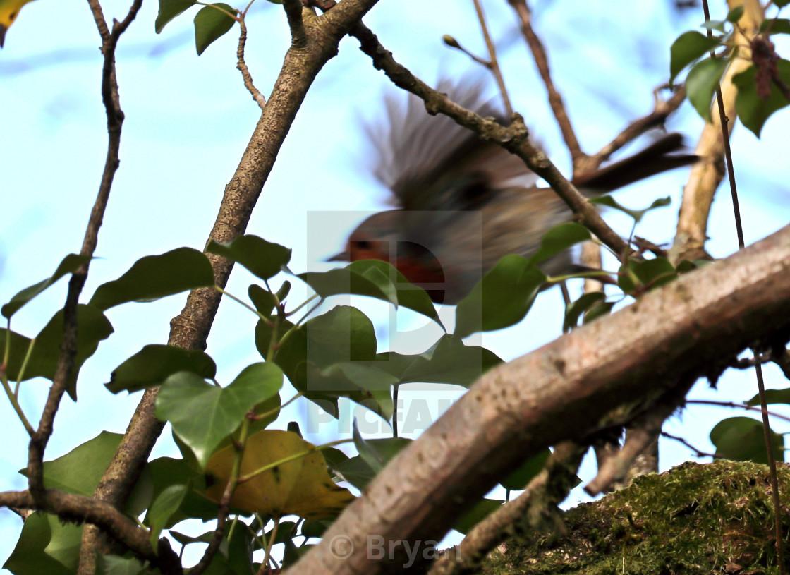 """Robin in Flight"" stock image"