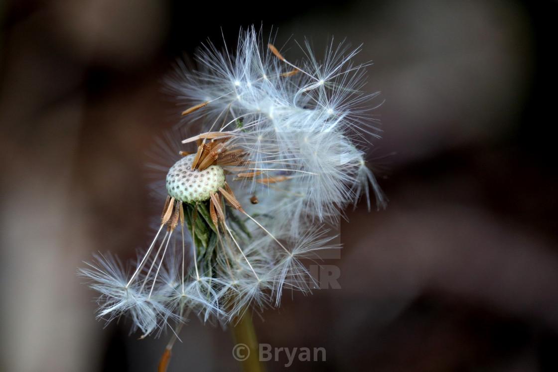 """Dandelion Seedhead"" stock image"