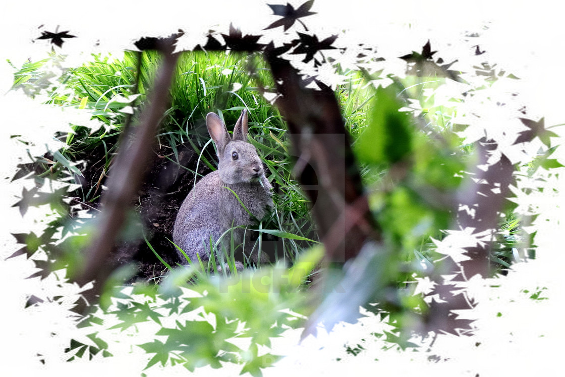 """Rabbit - Bunny Rabbit"" stock image"