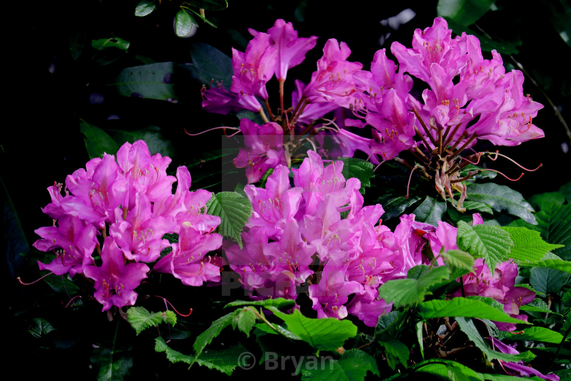 """Rhododendron ponticum, called common rhododendron or pontic rhododendron, is a species of Rhododendron native to southern Europe and southwest Asia."" stock image"