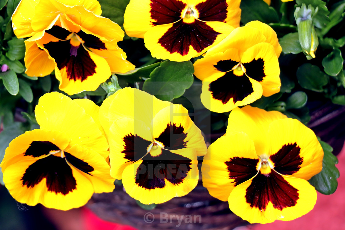 """""""Garden pansy, Giant Pansy, Viola, or hartsease, a hybrid plant cultivated as a garden flower, particularly Viola tricolor, a wildflower of Europe"""" stock image"""
