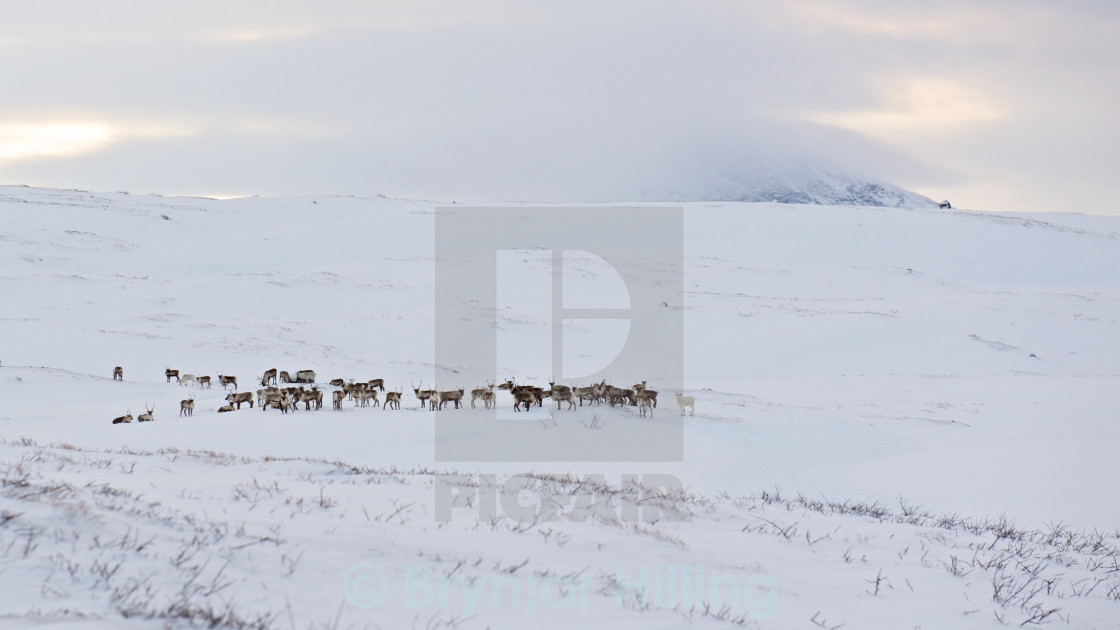 """Reindeer in the snow"" stock image"