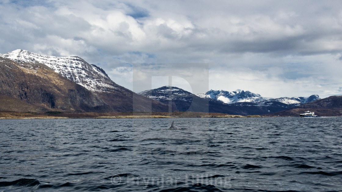 """Whale in the fjord"" stock image"