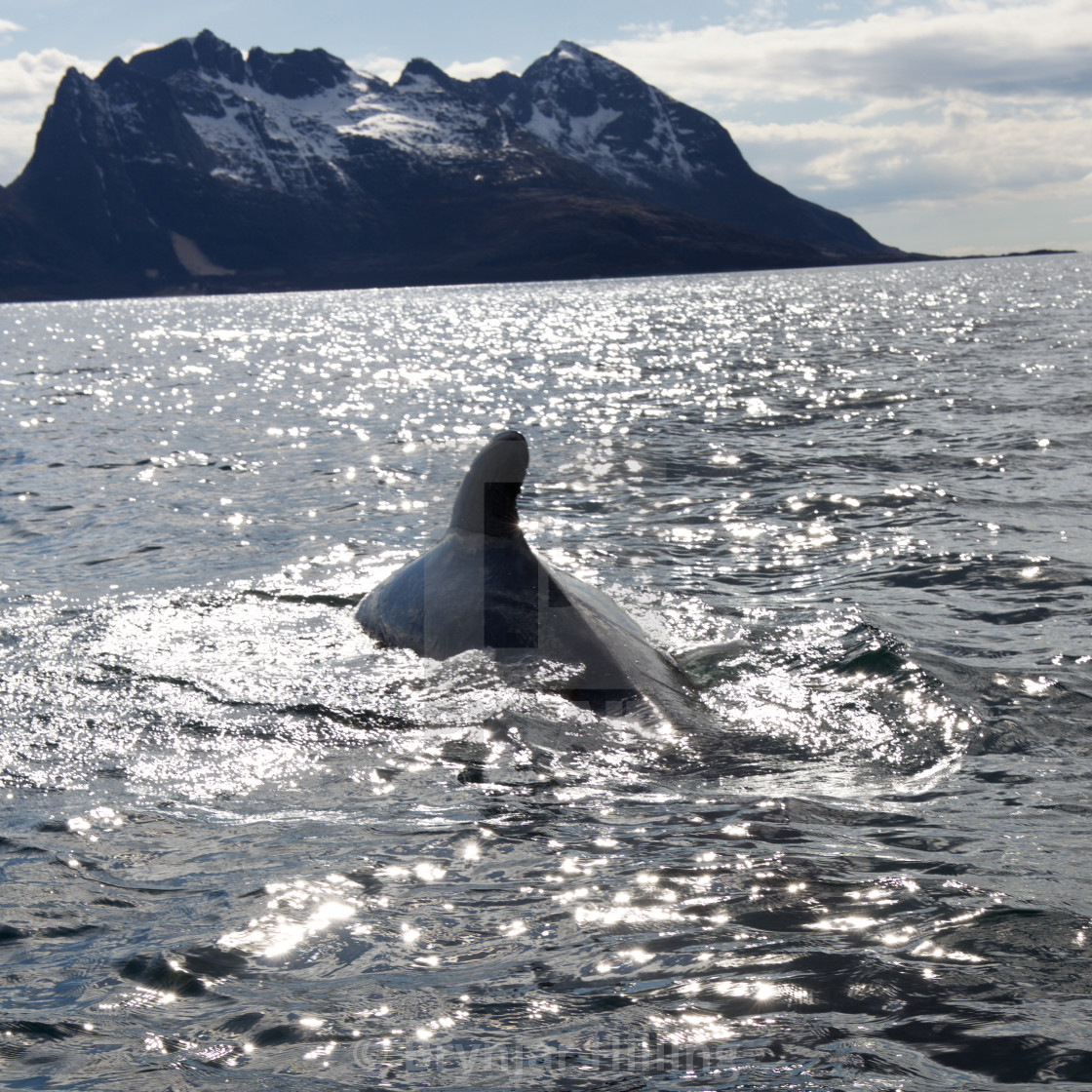 """""""Whale surfacing in Norway"""" stock image"""