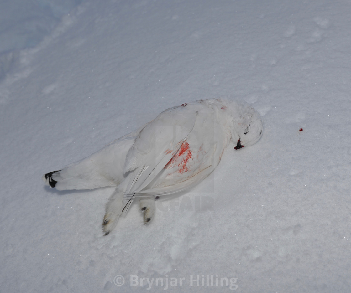 """Dead grouse in snow"" stock image"
