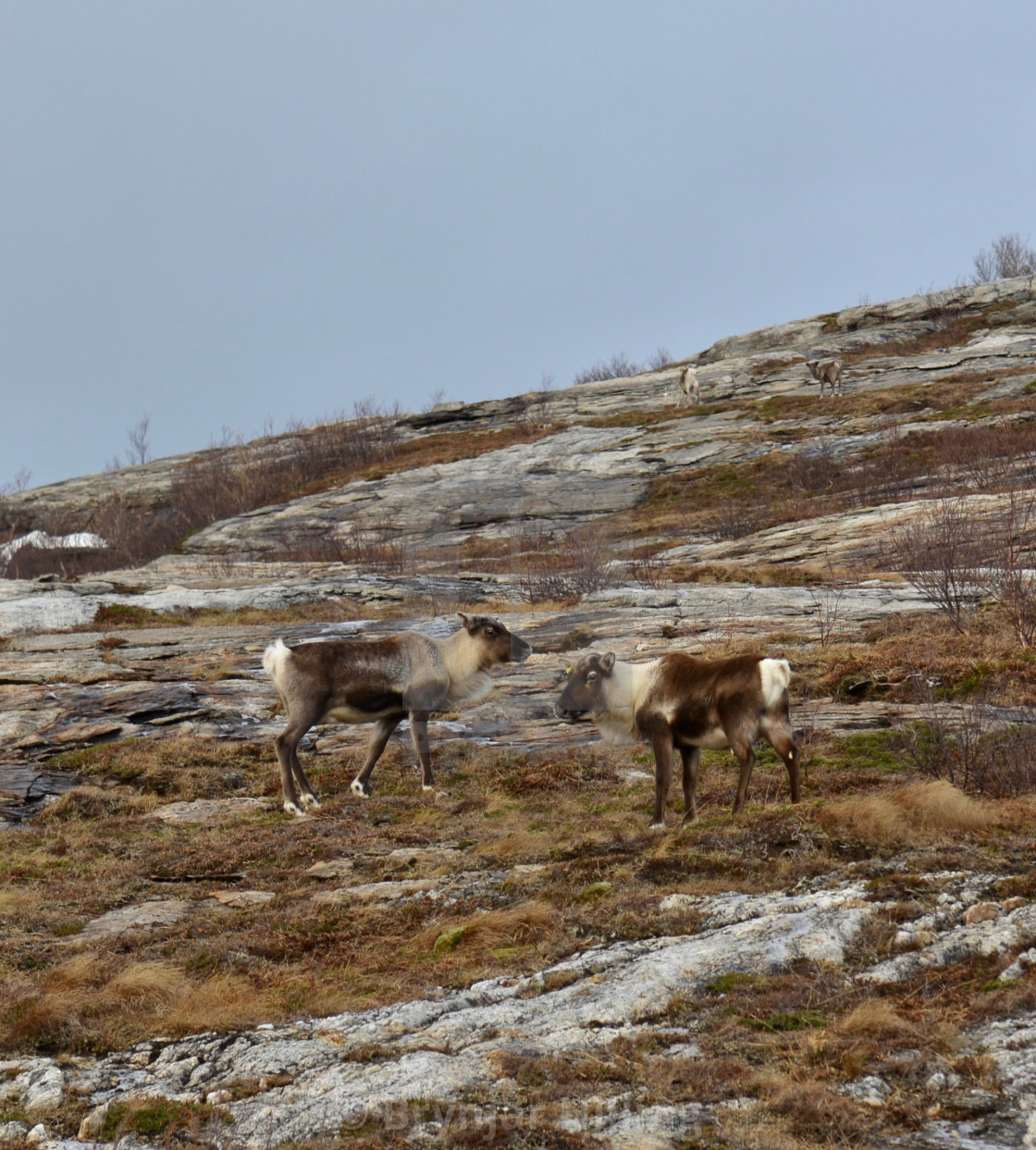 """4 reindeers on the mountain"" stock image"