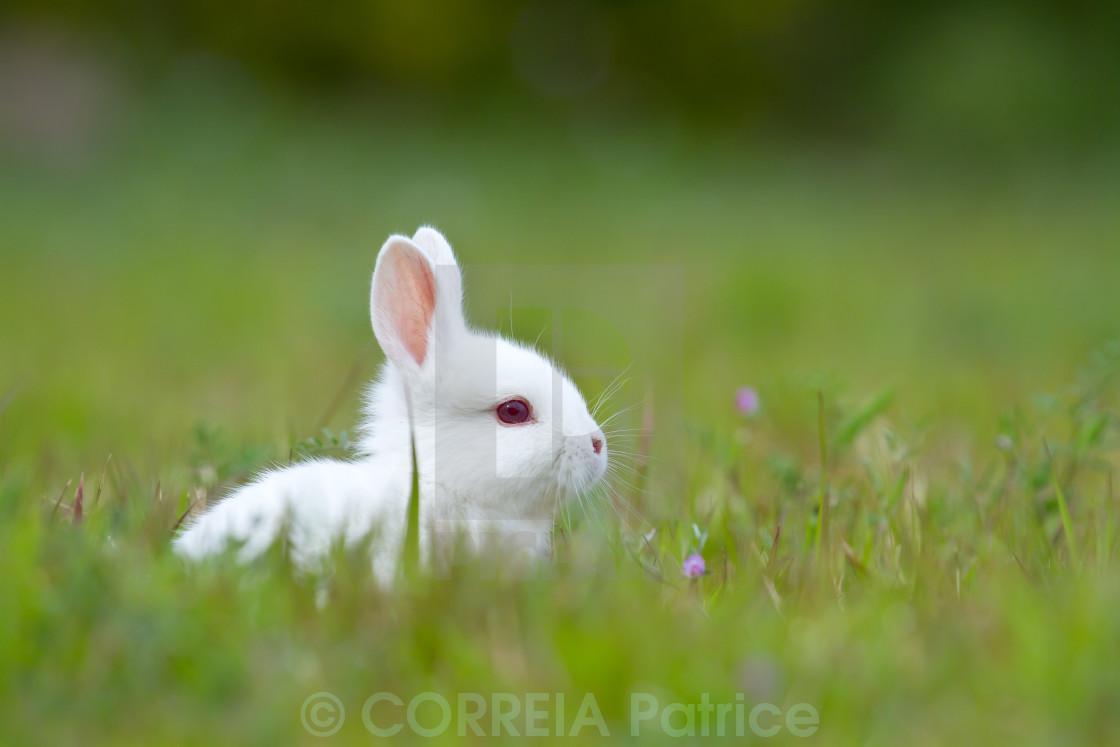 """White baby rabbit in grass"" stock image"