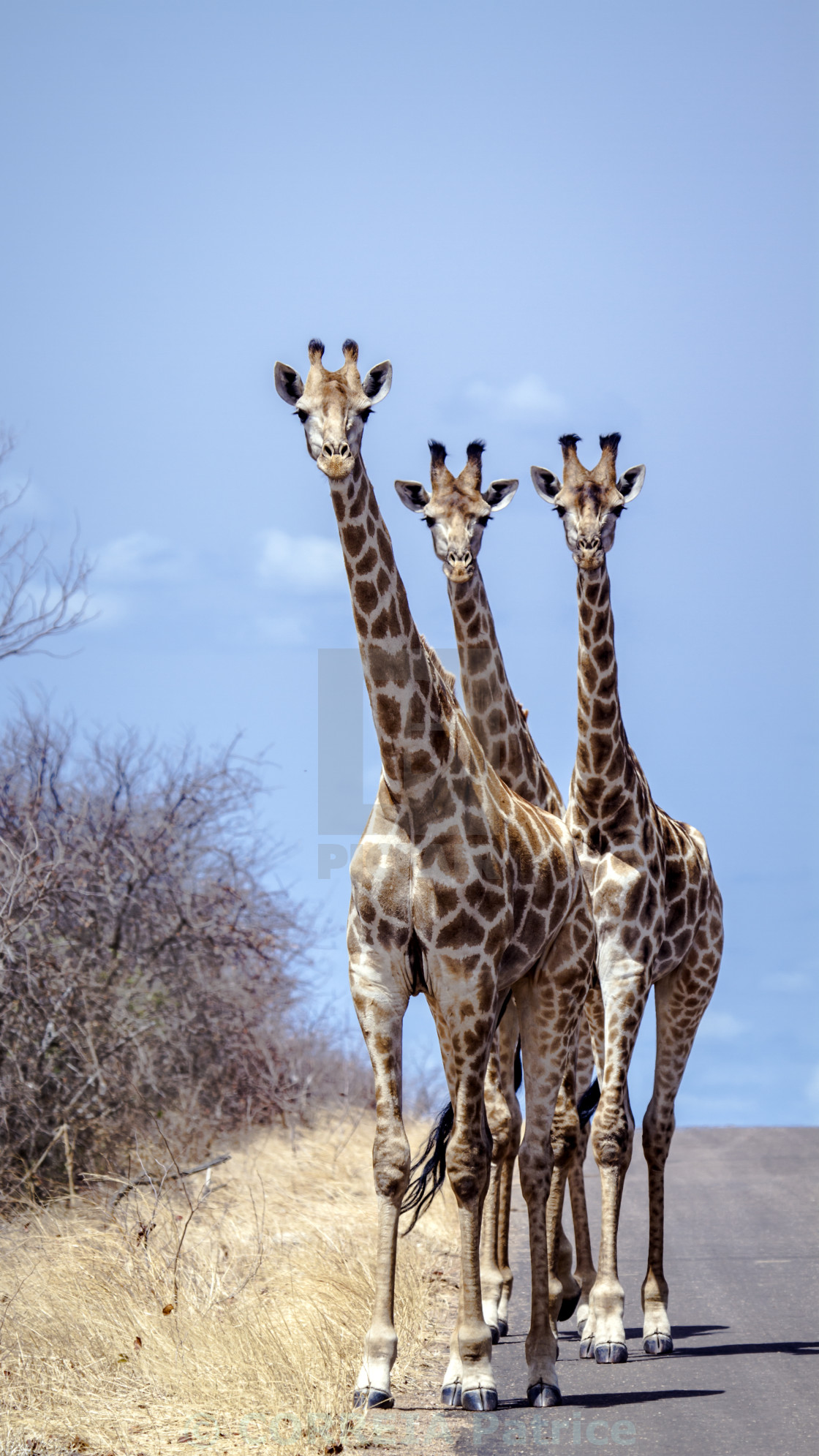 """Giraffe in Kruger national park, South Africa"" stock image"