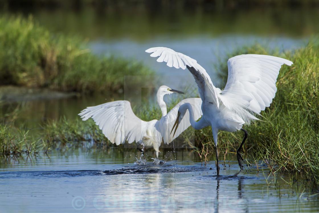 """Great egret in Arugam bay lagoon, Sri Lanka"" stock image"