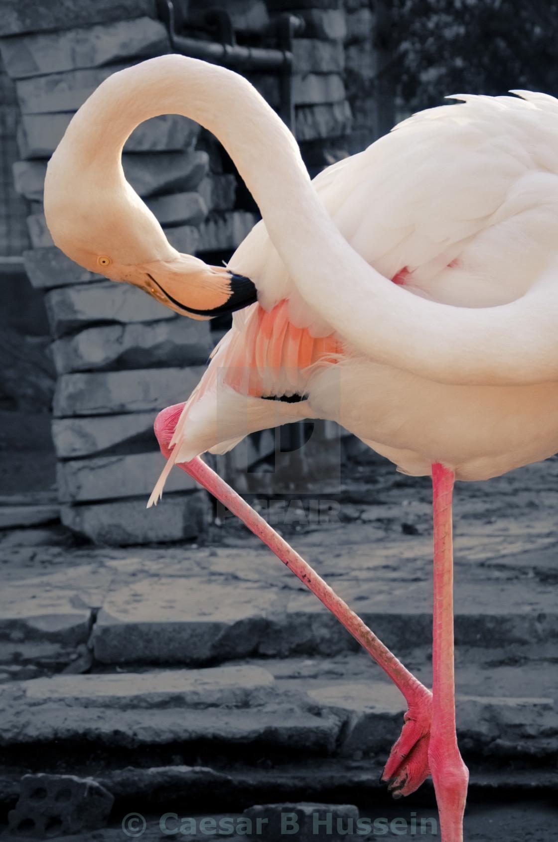 """The Flamingo"" stock image"