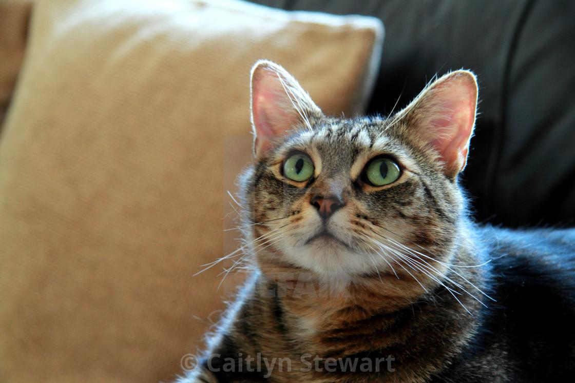 """""""Tabby cat looking upwards"""" stock image"""