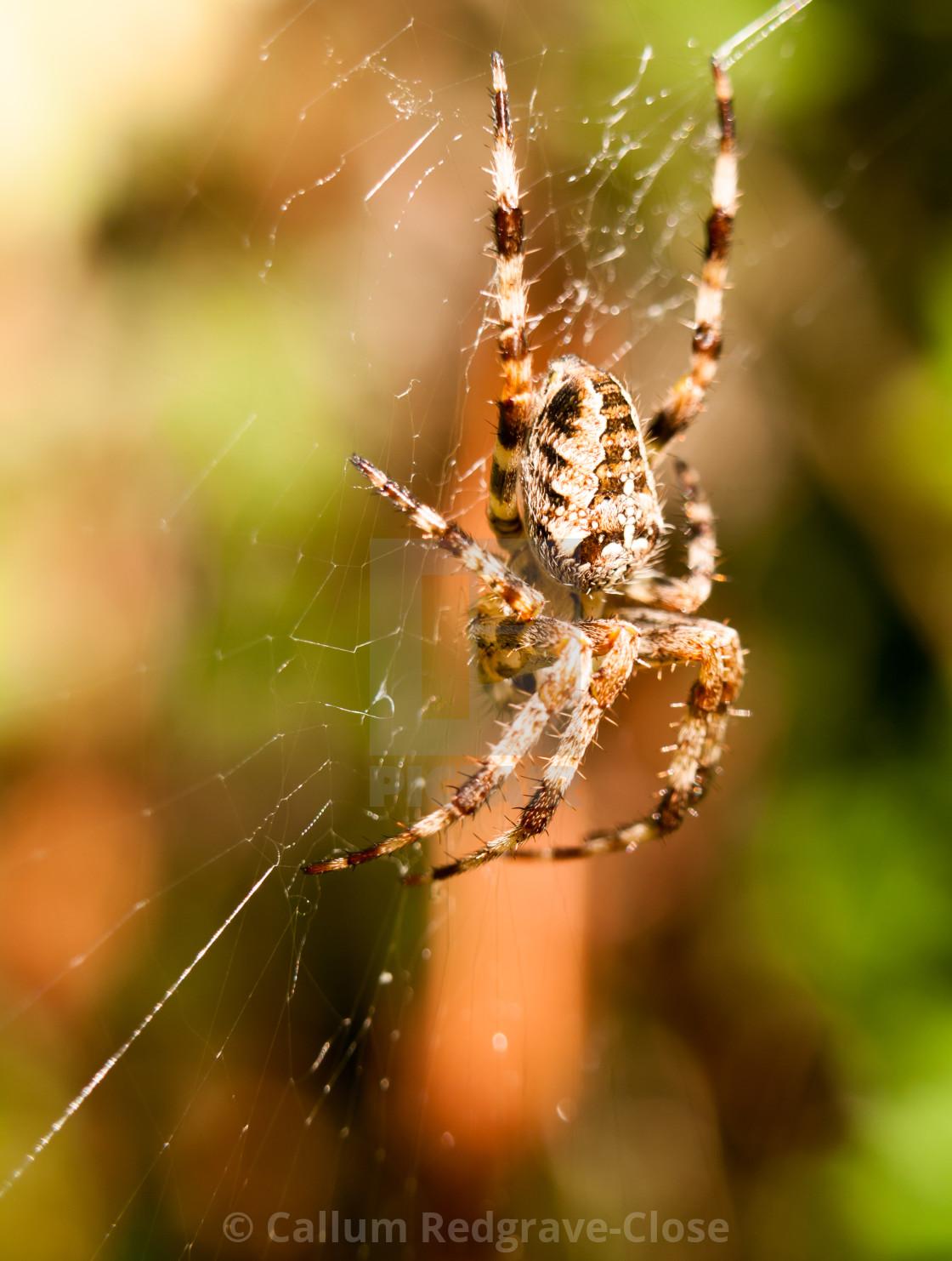close up garden spider hanging on web Araneus diadematus - License ...