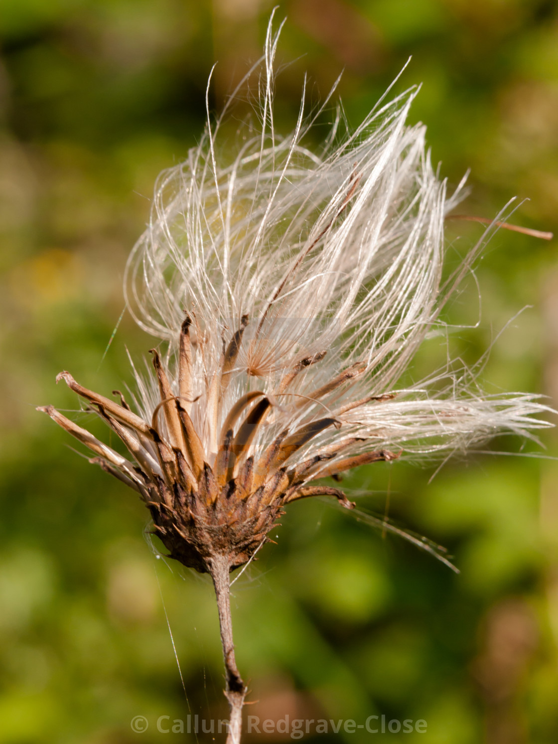 Milk Thistle White Flower Head Strands In Summer Silybum Marianum