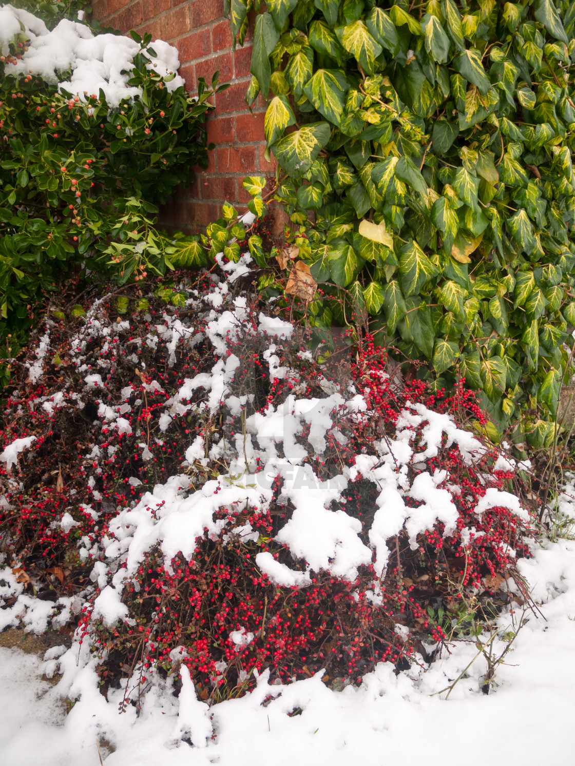 Snow On Red Berry Bush Outside On Floor Winter License Download