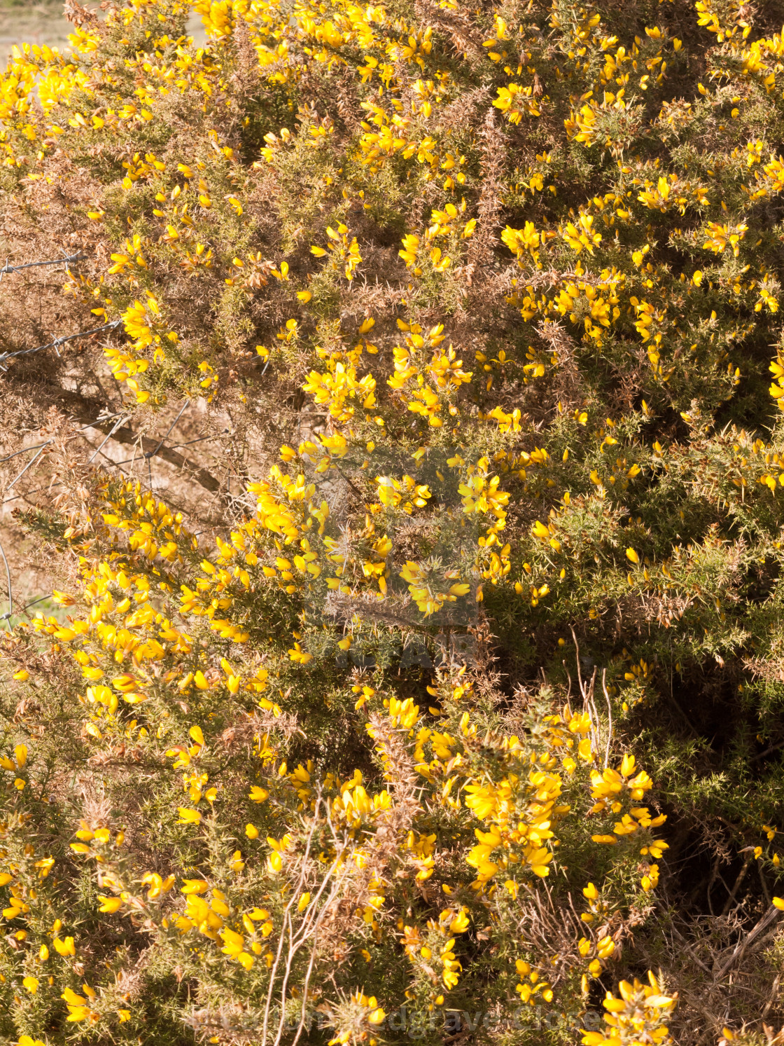 Close Up Yellow Gorse Flowers Broom Texture Spring Bright Beautiful