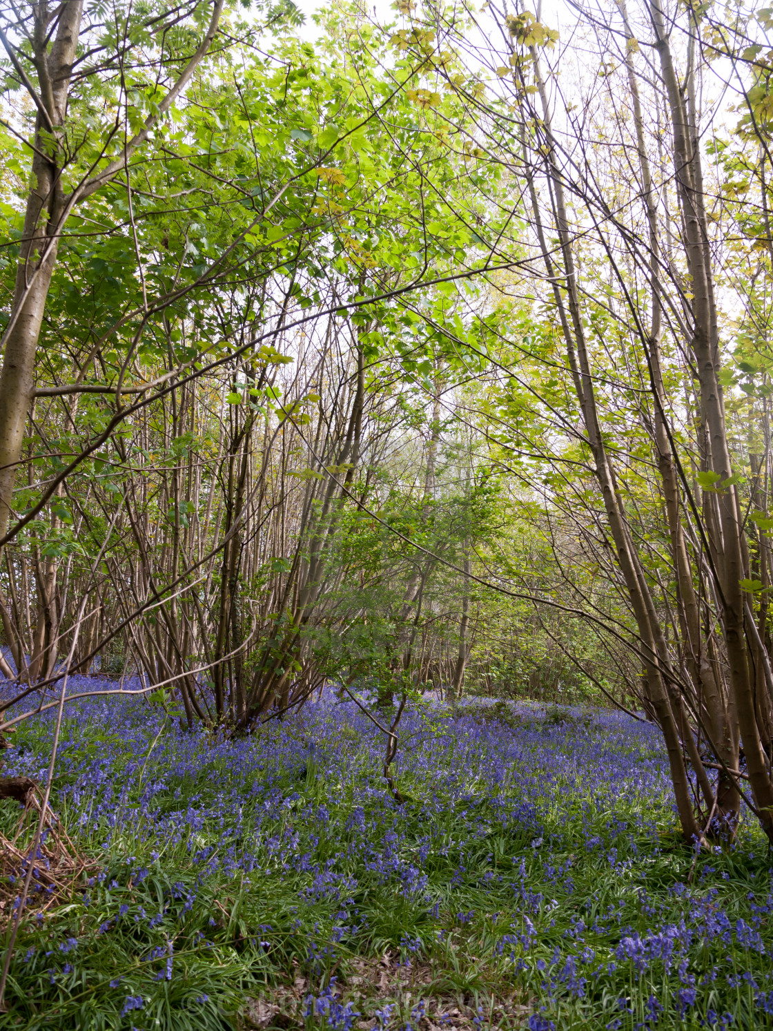 Inside Forest Woodland Spring With Blue Bells Flowers Across Floor