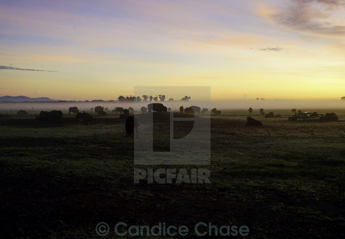 """""Dawn on Bison Ranch"""" stock image"
