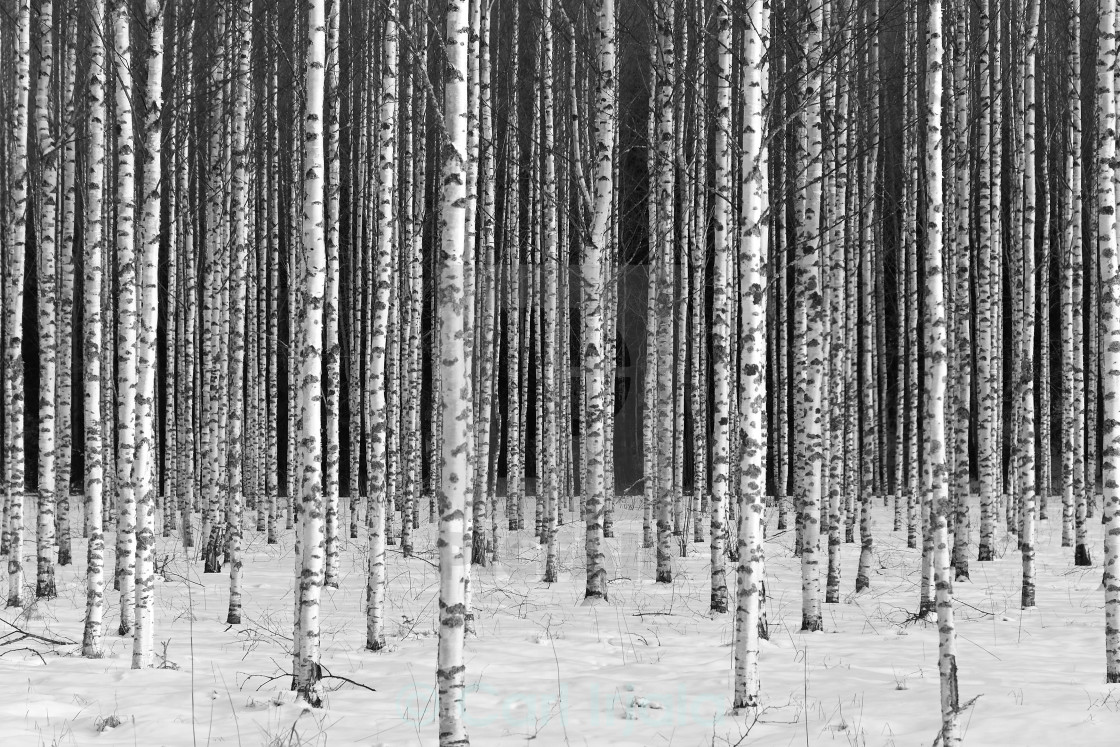 """Birch_forest"" stock image"