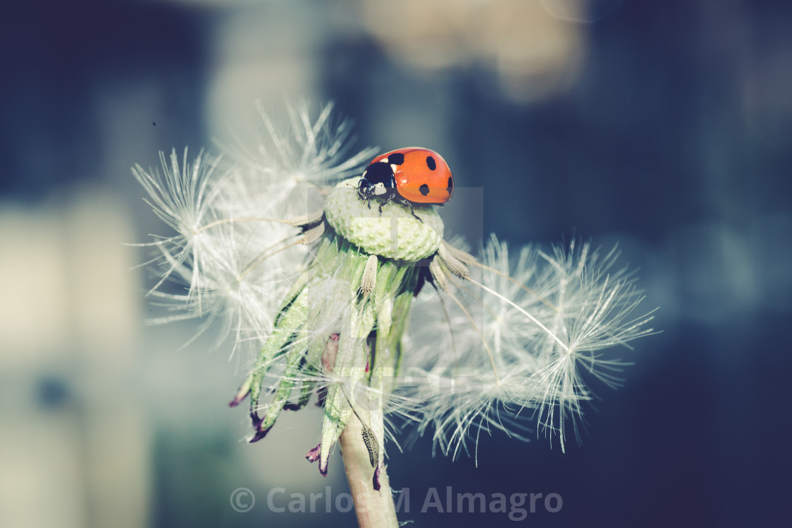 """""""Ladybug in dandelion IX"""" stock image"""