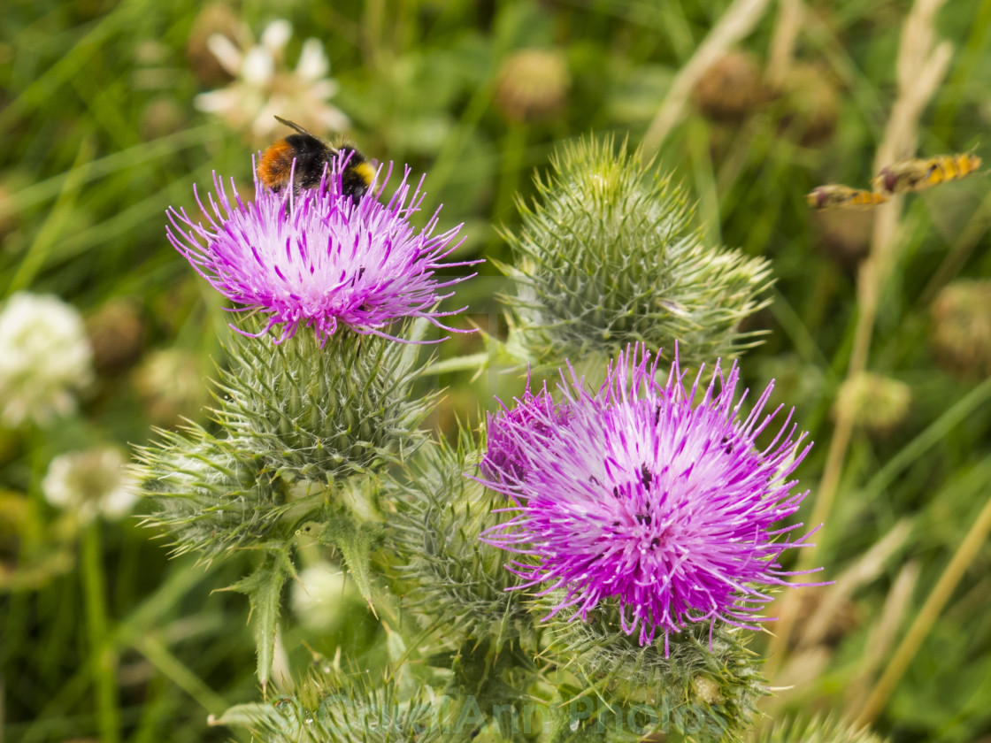 """Busy on the knapweed"" stock image"