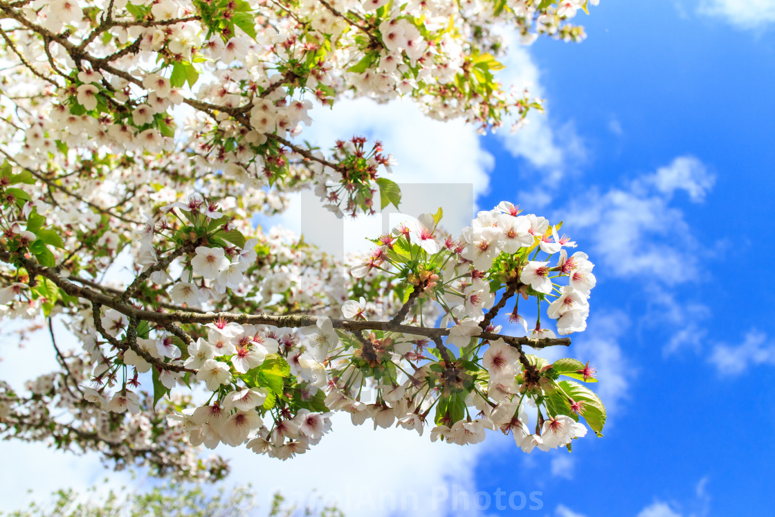 """Cherry blossom in Daventry"" stock image"