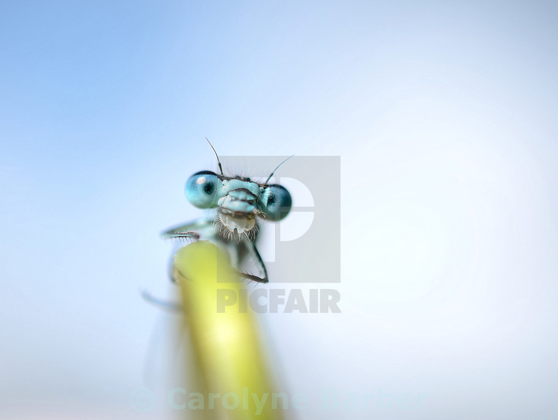 """Damselfly"" stock image"