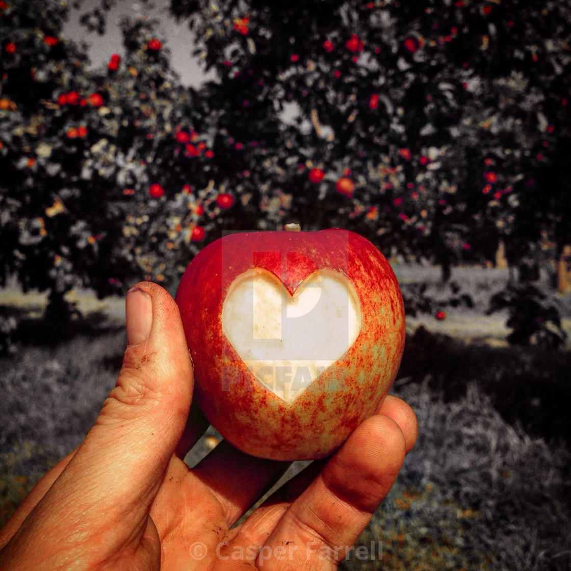 """A Love Heart Apple"" stock image"
