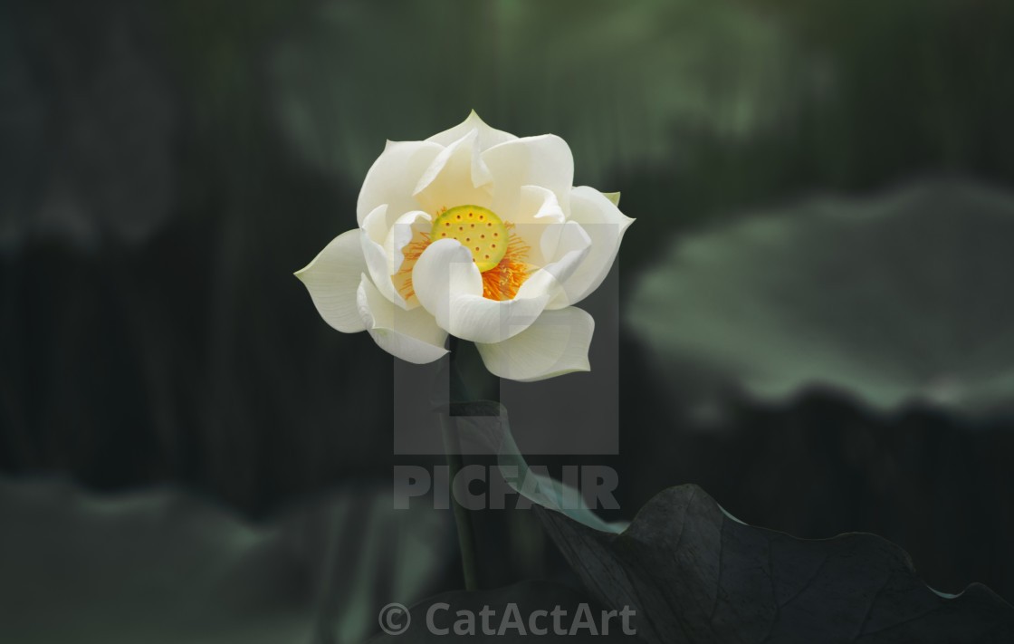 Lotus Flower Meditation Asian License Download Or Print For
