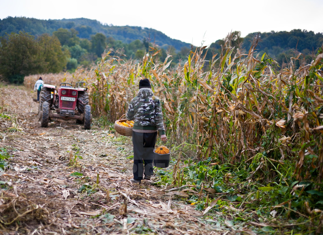 """Old man harvesting corn"" stock image"