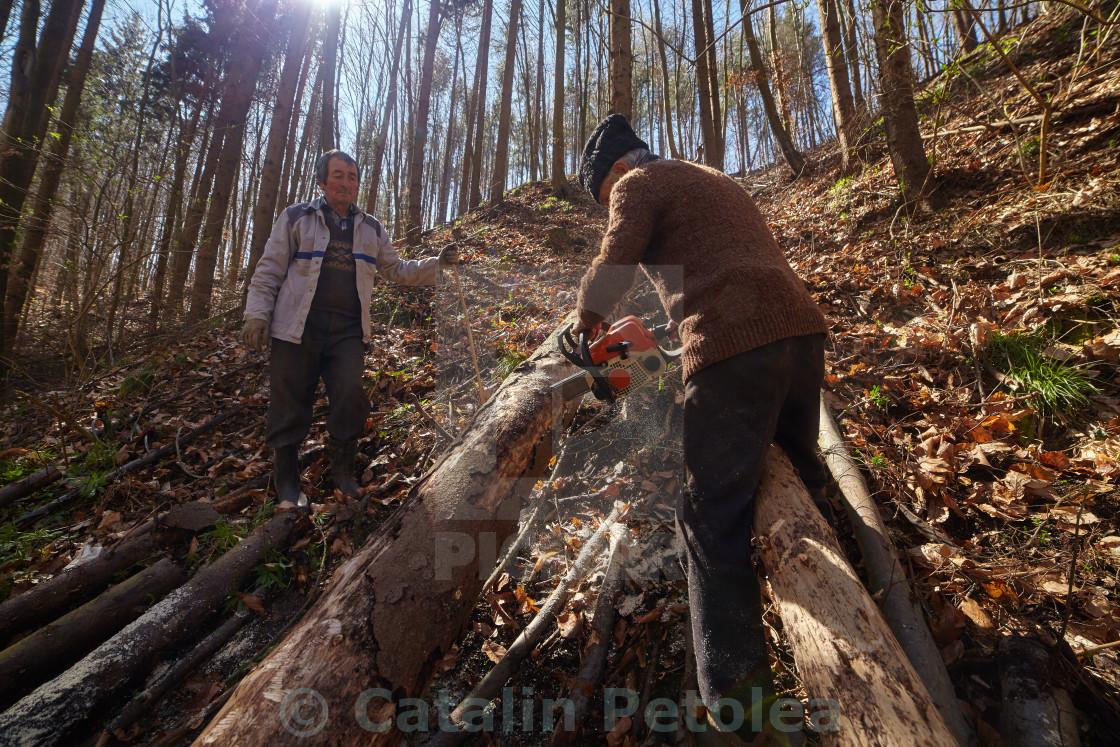 """Senior lumberjacks cutting trees"" stock image"