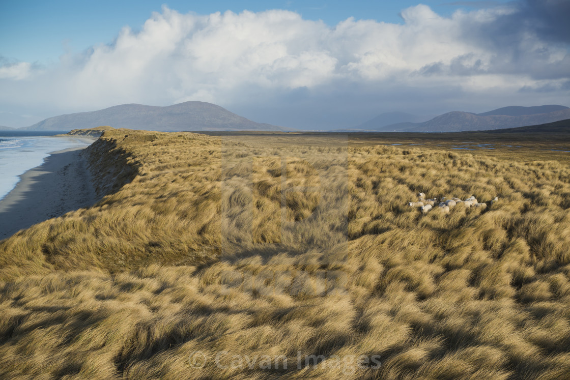 """""""Sheep hide among dune grass at west coast beach, Berneray, Outer Hebrides,..."""" stock image"""