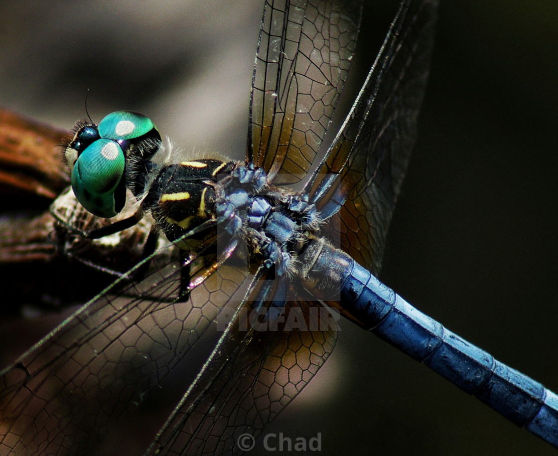 """Blue dragonfly"" stock image"