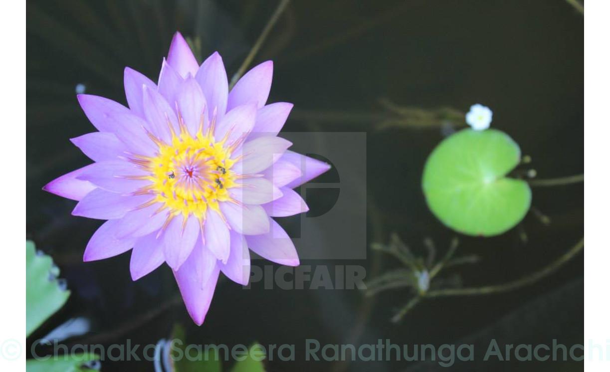 Blue Lotus The National Flower Of Srilanka License For 1240 On