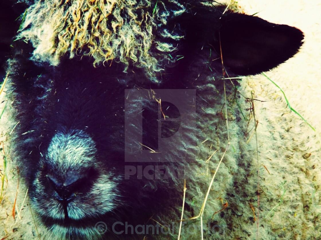"""""""Dark sky sheep"""" stock image"""