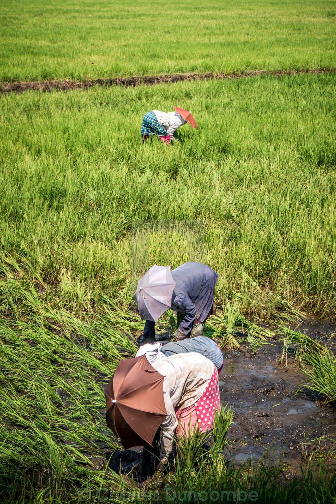 """Asian workers in rice paddy field"" stock image"