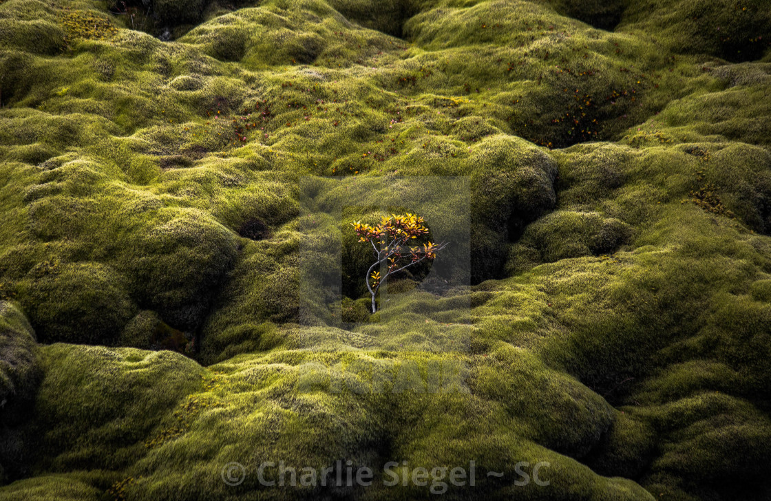 """Birch Tree Among the Moss in Iceland"" stock image"
