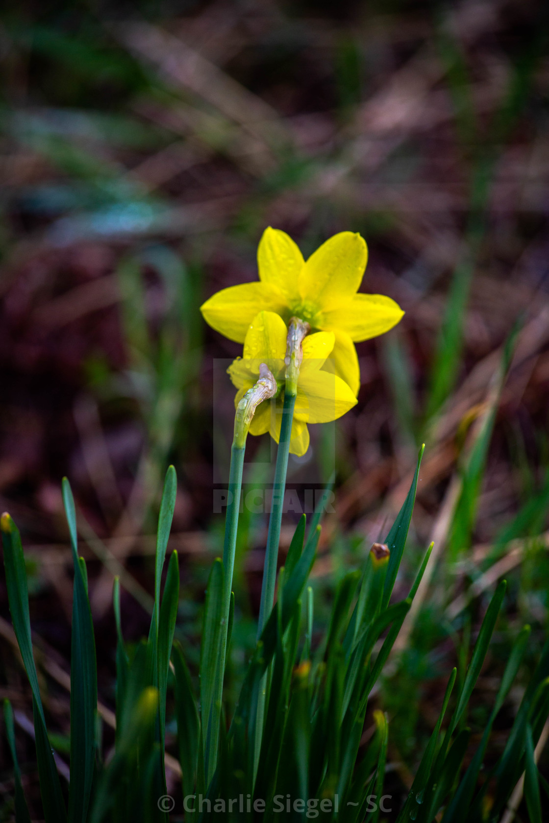 """Two Daffodils Together"" stock image"