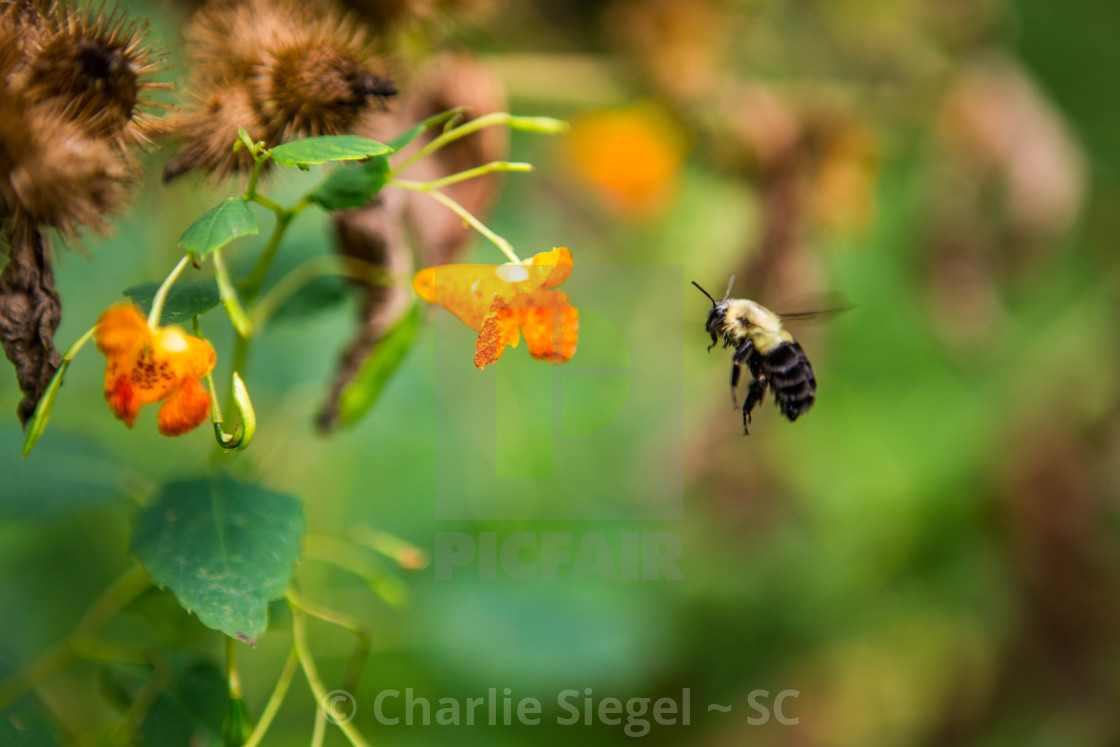 """Bumblebee Flying Towards a Butterfly Bush"" stock image"